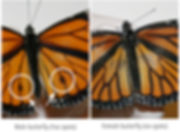 Male Butterfly versus Female.png