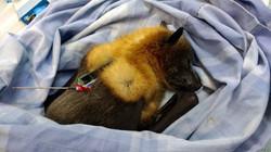 Grey-headed flying fox with GPS tag