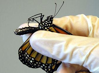 holding-monarch.jpg