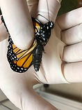 OE infected monarch