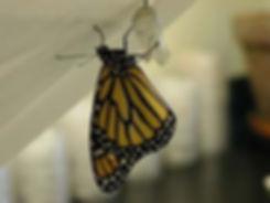 recently emerged monarchs
