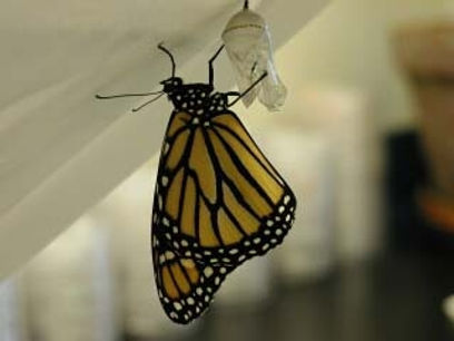 recently emerged monarchs