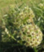 Antelope Horns Milkweed (WIKI).jpg