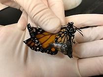 OE infected monarch.jpg