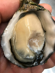 Close up of Oyster