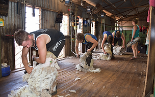 Shearing Team.png