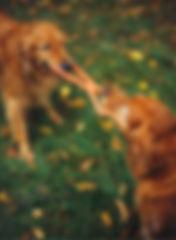 Tug of war - dogs