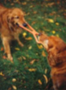 Two dogs playing tug of war. Tamberly Animal Hospital