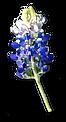 bluebonnet-2 copy.png