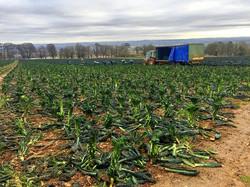 Black Kale Picking Dale Farm