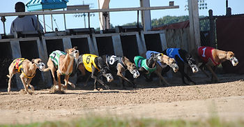 racing greyhounds at gate