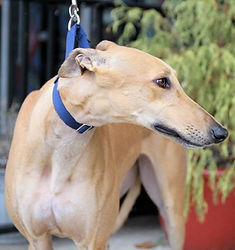 adopted retired racing greyhound