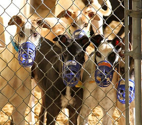 racing greyhounds at kennel