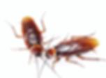 cucaracha-americana-periplaneta-american