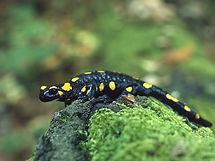 Arboretum Al Gaulhia - salamandre tachetée