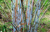 Arboretum Al Gaulhia - Fargesia 'Blue Dragon'