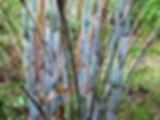 bambou arboretum uzerche