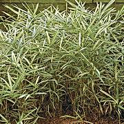 Arboretum Al Gaulhia - Pleiblastus variegatus