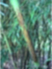 Arboretum Al Gaulhia - Phyllostachys Nigra 'Boryana'
