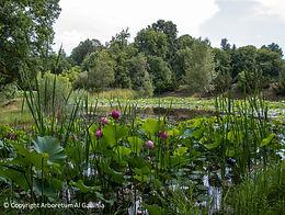 lotus rose arboretum uzerche