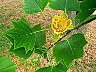 Arboretum Al Gaulhia - Tulipier de Virginie