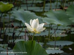 Lotus blanc arboretum Limosin