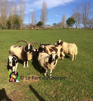 mouton4cornes1-ParcduTouron.jpg