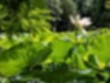 arboretum limousin lotus blanc