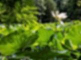 arboretum corrèze journée lotus