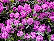 Arboretum Al Gaulhia - Rhododendron