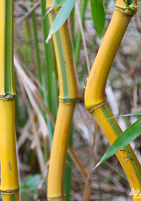 Phyllostachys-aureosulcata Spectabilis.j