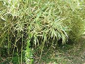 Arboretum Al Gaulhia - X Phyllosasa Tranquillans Shiroshima