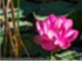 lotus arboretum limousin