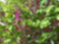 Arboretum Al Gaulhia - Cercis Siliquastrum