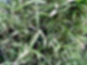 Arboretum Al Gaulhia - Arundinaria Fortunei vaiegata