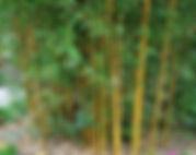 Arboretum Al Gaulhia - Phyllostachys Vivax 'Aureocaulis'