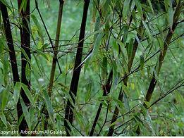 exposition bambous arboreum corrèze