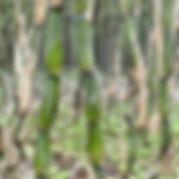 Arboretum Al Gaulhia - Pseudosasa japonica 'Tsutsumiana'