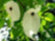 Arboretum Al Gaulhia - Davidia Involucrat
