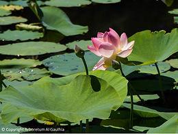 Arboretum Lotus rose