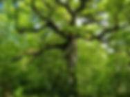 Arboretum Al Gaulhia - Chêne