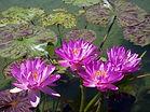 Arboretum Al Gaulhia - Nymphea 'Siam Purpe 2'