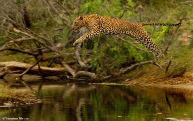 נמר קופץ | סרי לנקה