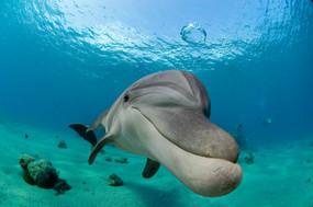 דולפין מפריח בועה | ריף הדולפינים, אילת
