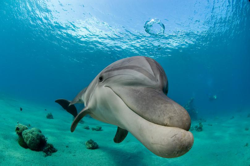 דולפין מפריח בועה   ריף הדולפינים, אילת