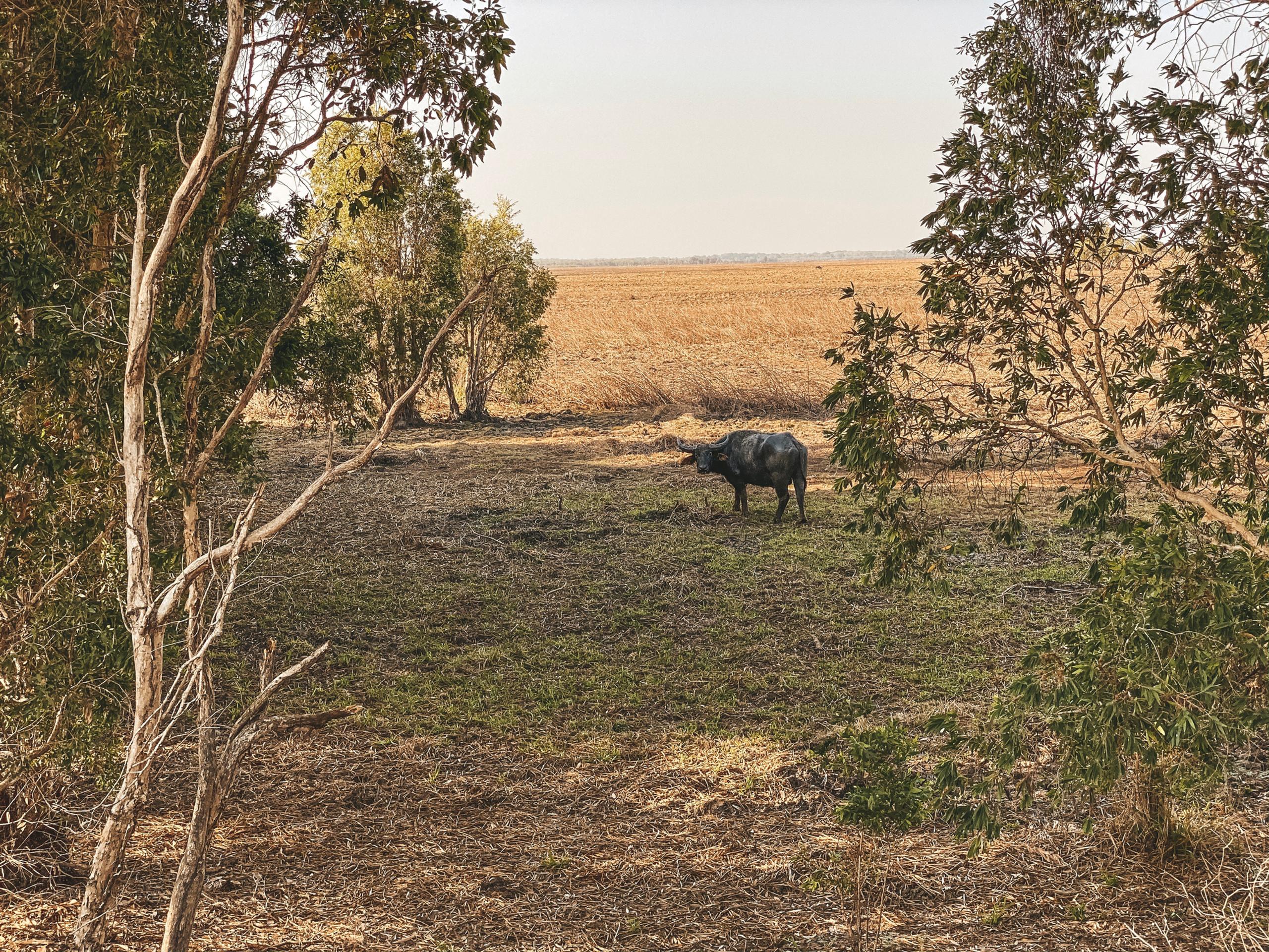 water buffalo fogg dam darwin
