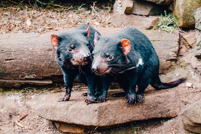 Tasmanian Devils Unzoo Port Arthur