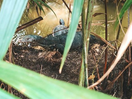 Singapore Botanic Gardens monitor lizard turtle