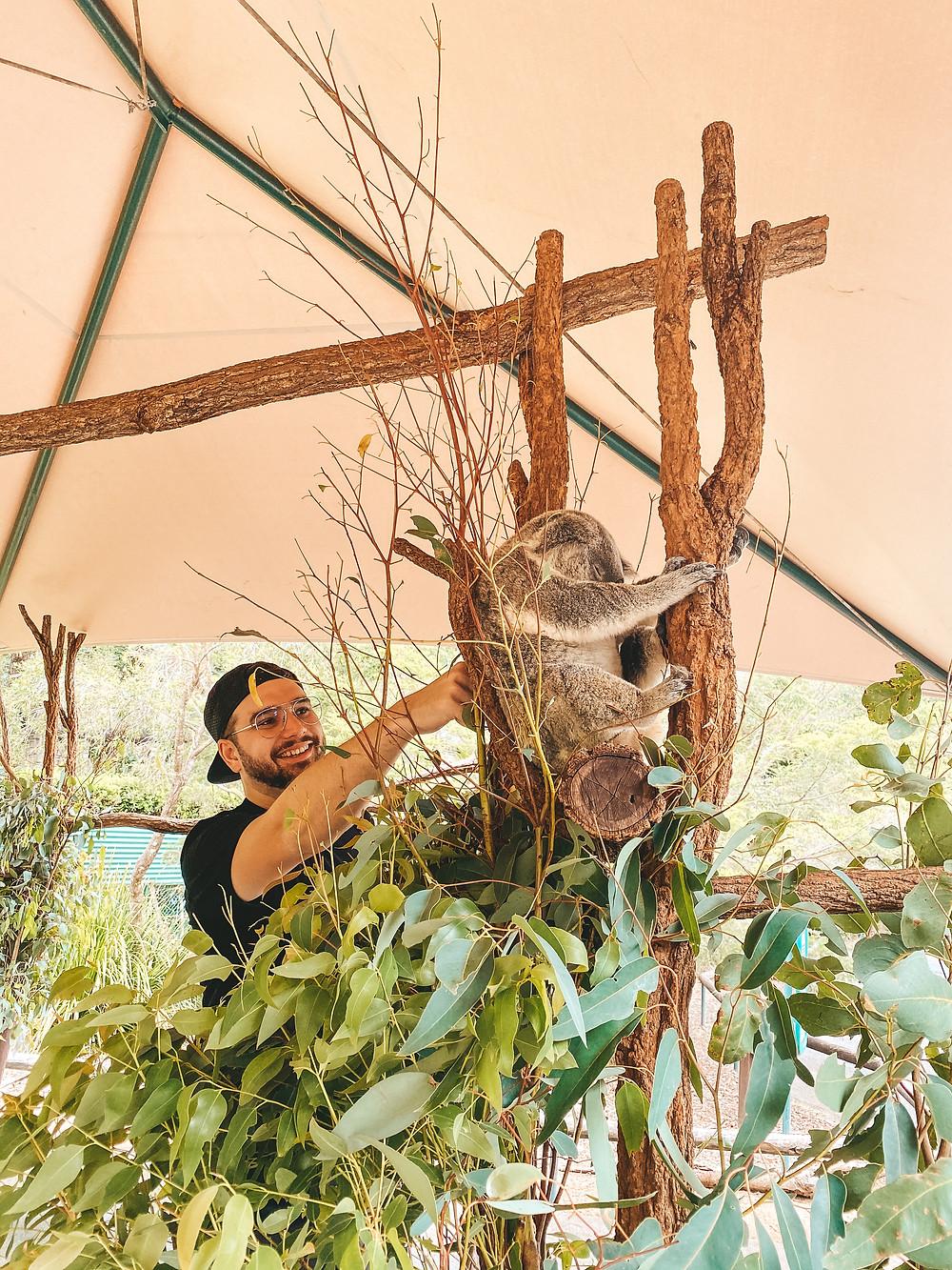 Koala encounter, Koala patting, Australia Zoo