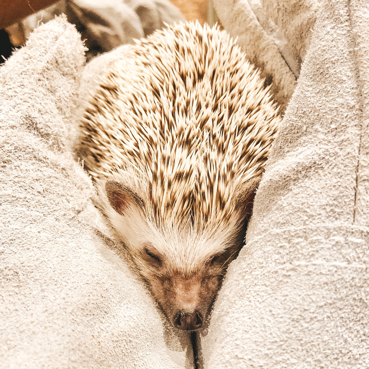 Tokyo Hedgehog Cheese Cafe Akihabara travel guide